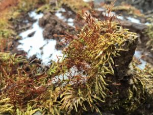 Moss--a bryophyte--growing on a decomposing log in a central Iowa woodland.