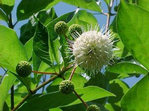 Buttonbush. Photo courtesy of the Missouri Botanical Garden.