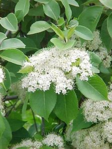 Nannyberry viburnum. Photo courtesy of the Missouri Botanical Garden.