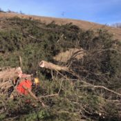 Removing cedar trees from a livestock pasture.
