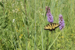 swallowtailprairie