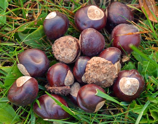 Buckeyes, the seed of the Ohio buckeye tree (Aesculus glabra) photo courtesy of the Ohio State University's College of Food, Agriculture, and Environmental Science.